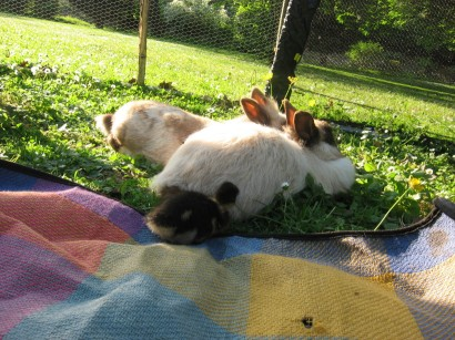 Maggie taking advantage to taste some rabbit fur. Read more about Maggie