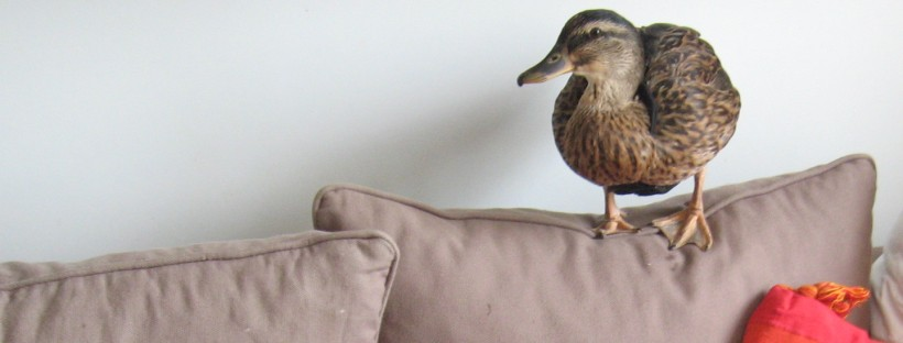 Our Pet Duck, Maggie