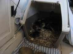 Maggie on her nest. Read more about Maggie