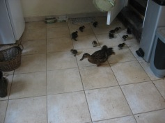 Maggie showing her ducklings around. Read more about Maggie