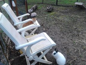 A pregnant Gigi hanging out with the rabbits. Read more about our animals