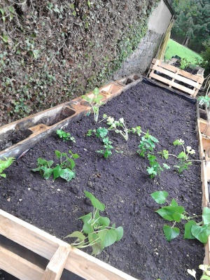 Planting celery and sweet potatoes
