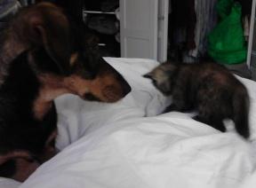 Chewie curious about a kitten