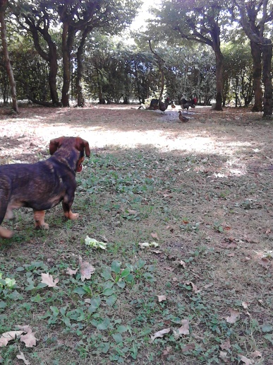 Chewie visiting the chickens